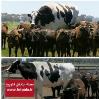 بزرگترین گاو دنیا در استرالیا !
